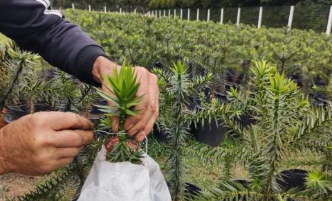 Começa programa que prevê plantação de 10 milhões de araucárias
