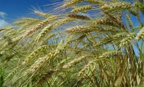 Santa Catarina deve colher 290 mil toneladas de cereais de inverno
